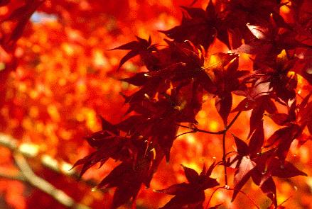 red-orange maple leaves